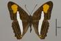 124737 Adelpha cytherea aea d IN