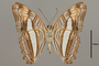 124737 Adelpha cytherea aea v IN