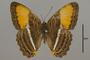 124738 Adelpha cytherea daguana d IN