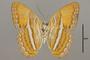124738 Adelpha cytherea daguana v IN