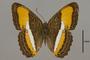 124739 Adelpha cytherea olbia d IN