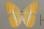 124739 Adelpha cytherea olbia v IN