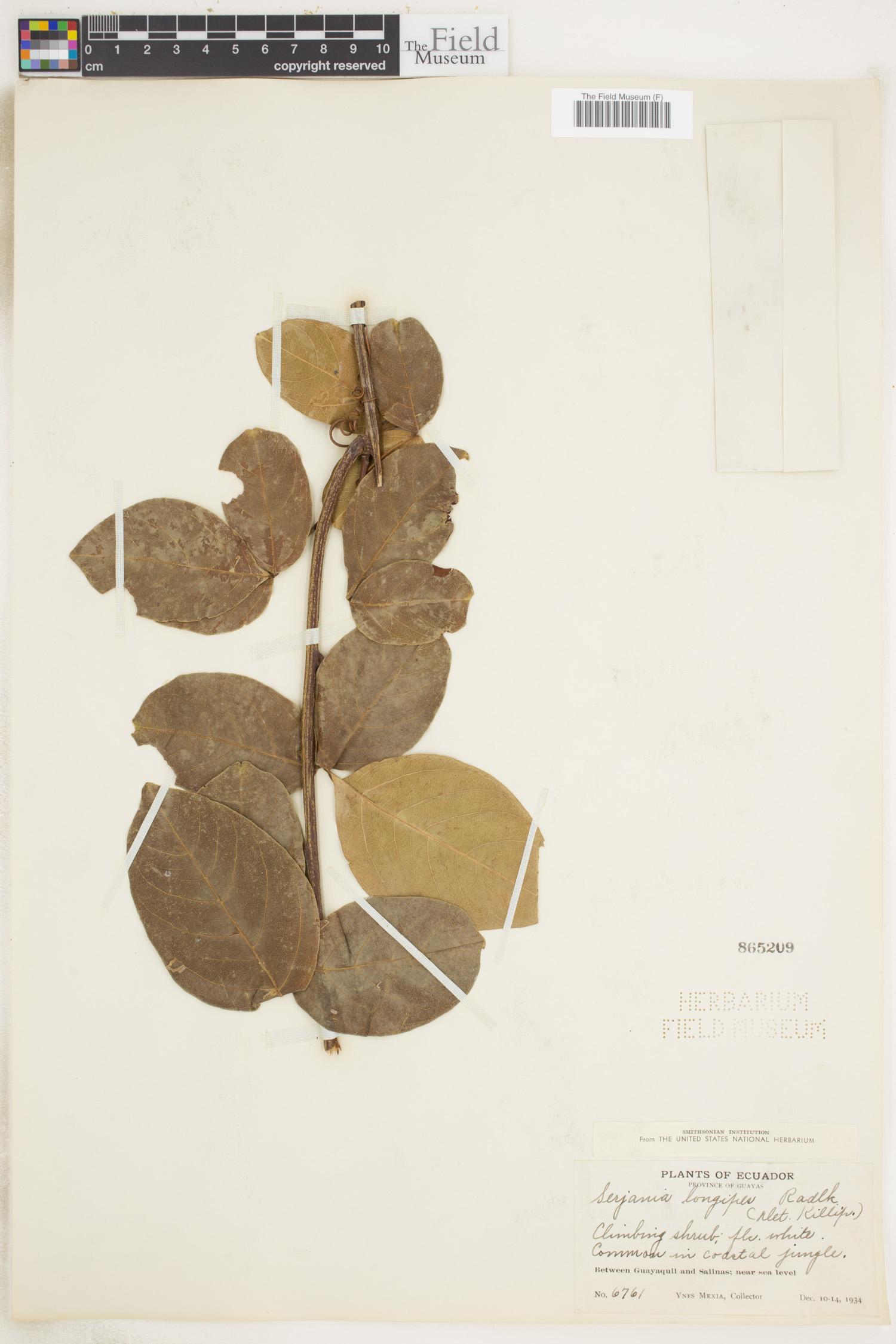 Serjania longipes image