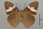 124748 Adelpha lycorias lara v IN