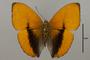 124775 Cymothoe lucasii d IN