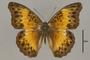 124780 Cymothoe adelina d IN
