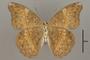 124780 Cymothoe adelina v IN