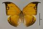 125166 Coenophlebia archidona d IN