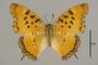 125167 Charaxes sp d IN