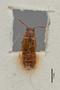 3047627 Omalium cottieri ST d IN