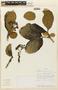 Rudgea viburnoides image