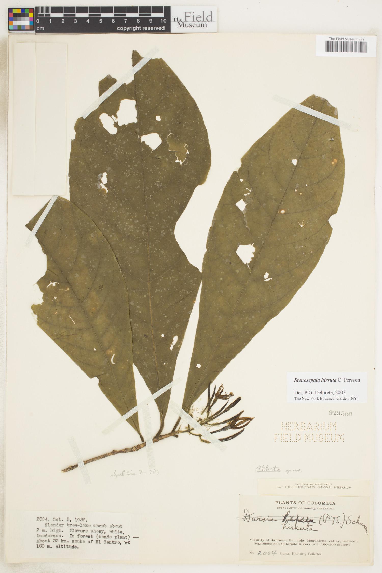 Specimen: Stenosepala hirsuta