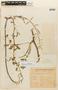 Rorippa hilariana (Walp.) Cabrera, URUGUAY, F