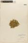 Rorippa nana (Schltdl.) J. F. Macbr., BOLIVIA, F