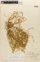 Rorippa mandonii (E. Fourn.) Mart.-Laborde, PERU, F