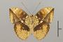 124819 Bebearia barce ssp v IN