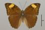 124827 Bebearia senegalensis d IN