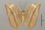 124827 Bebearia senegalensis v IN
