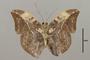 124830 Bebearia sophus v IN