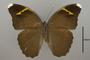 124838 Euphaedra harpalyce spatiosa d IN