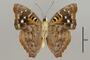 125182 Doxocopa agathina agathina v IN