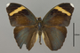 124854 Euphaedra luperca d IN