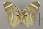 124854 Euphaedra luperca v IN