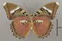 124860 Euphaedra xypete v IN