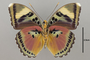 124861 Euphaedra xypete v IN