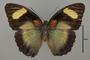 124866 Euphaedra themis d IN