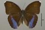 124867 Euphaedra eupalus d IN