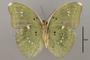 124867 Euphaedra eupalus v IN