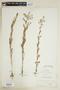 Rorippa palustris (L.) Besser, U.S.A., W. W. Calkins 102, F