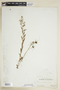 Rorippa palustris (L.) Besser, U.S.A., Hur. H. Smith 5980, F