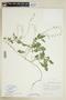 Rorippa palustris (L.) Besser, U.S.A., S. F. Glassman 8770, F