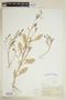 Rorippa sessiliflora (Nutt.) Hitchc., U.S.A., E. J. Hill, F