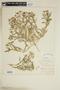 Rorippa sinuata (Nutt.) Hitchc., U.S.A., W. C. Ohlendorf `, F
