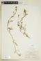 Rorippa sylvestris (L.) Besser, U.S.A., F. A. Swink, F