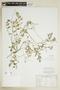 Rorippa sylvestris (L.) Besser, U.S.A., J. Smegowski 2155, F