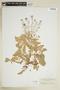 Rorippa palustris (L.) Besser, U.S.A., A. A. Heller, F