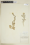 Rorippa palustris (L.) Besser, U.S.A., A. C. V. Schott, F