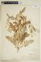 Rorippa palustris (L.) Besser, U.S.A., J. K. Small, F