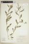 Rorippa palustris (L.) Besser, U.S.A., N. C. Henderson 68-310, F