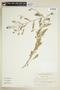 Rorippa palustris (L.) Besser, U.S.A., N. C. Henderson 69-144, F