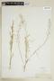 Rorippa palustris (L.) Besser, U.S.A., J. H. Stewart, F
