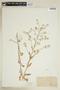 Rorippa palustris (L.) Besser, U.S.A., M. S. Bebb, F