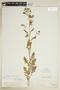 Rorippa palustris (L.) Besser, U.S.A., R. Ridgway 123, F