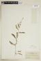 Rorippa palustris (L.) Besser, U.S.A., F. E. A. Thone 44, F