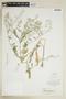 Rorippa palustris (L.) Besser, I-1688, F