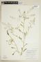 Rorippa palustris (L.) Besser, Canada, W. J. Cody 8724, F